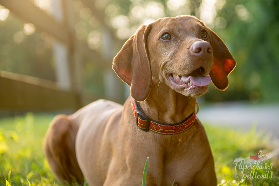 Equestrian-Inspired Dog Collars